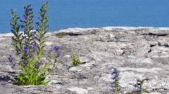 Blue weed, Echium vulgar wildflower growing on a limestone cliff Stock Footage