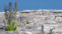 Blue weed, Echium vulgar wildflower growing on a limestone cliff - stock footage