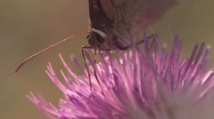 Slow Motion butterfly collects nectar from a thistle on the evening sun,macro Stock Footage