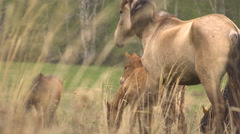 Horses Grazing in a Meadow With Young Colts. May Green Grass Stock Footage