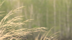 Dry Grass Bends in the Wind and Snow on a Green Background Spring Stock Footage