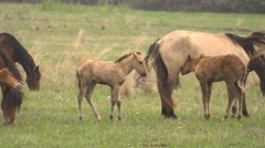 Horses Grazing in a Meadow With Young Colts. Stock Footage