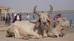 Cow with big horns on ghat,Dwarka,India Stock Footage