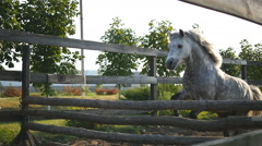 Training of white little pony. Slow motion, close up. Stock Footage