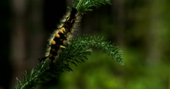 Spiny Horned Caterpillar on Yarrow Plant CU Stock Footage