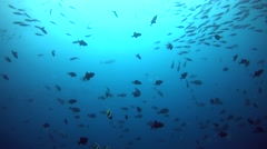 Dogtooth tuna cruising around schools of tropical fishes Stock Footage