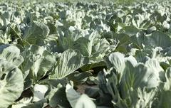 green cabbage field - stock photo