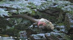 Marine iguana feeding at isla espanola in the galapagos Stock Footage