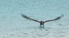 Brown pelican taking flight at isla san cristobal in the galapagos Stock Footage
