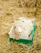 Lamb on hey in farm Stock Photos