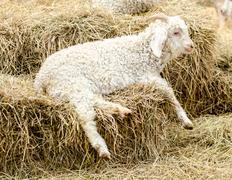 Lamb on hey in farm - stock photo