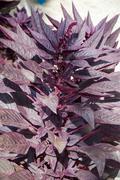 Amaranth has anticancer properties Stock Photos