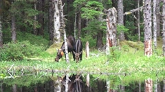 Moose side by side, calf ,cow eating Stock Footage