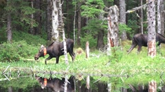 Moose, Wildlife management collar Stock Footage