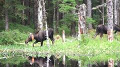 Moose, Wildlife management collar Stock Footage