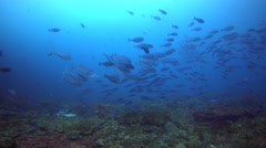 School of lunar fusiliers swimming over reef with surgeonfishes Stock Footage
