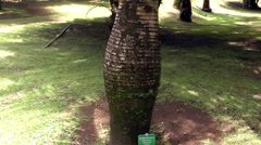 Bottle palm tree in the garden, tilt Stock Footage