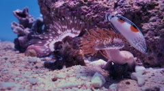 Tropical Fish Swimming over Sea Anemones 4K. Stock Footage