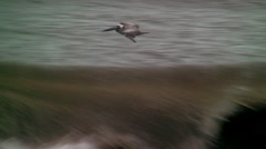 Brown pelican soars above crashing waves Stock Footage