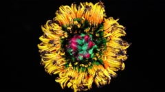 Slowly revolving colorful flower made by pigments Stock Footage