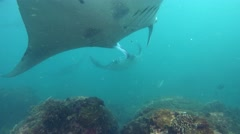 2 Manta rays (Manta blevirostris) swimming facing each other Stock Footage