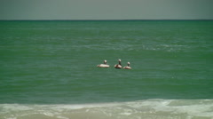 Three brown pelicans bobbing up and down waves Stock Footage