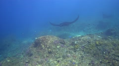 Black manta ray swimming close by, from front, side and back - stock footage