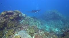 Manta ray (Manta blevirostris) swimming very close by - stock footage