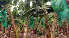 Green bananas in the tree plantation, close up Stock Footage