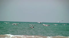Flock of brown pelicans dodge waves to land Stock Footage