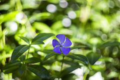 Blossoming periwinkle Stock Photos