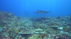 Manta ray (Manta blevirostris) swimming very close by with divers Stock Footage