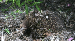 Australia Echidna turns head left zoom Stock Footage