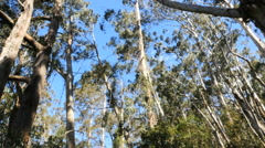 Australia gum trees at Pipers Lookout tilt up Stock Footage
