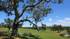 Australia Mumbulla tree and view pan Stock Footage