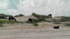 Wild horse herd grazing and relaxing on dunes Stock Footage