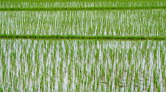 90 Days Rice Sprouts Growing Up In Farm 4K Time Lapse Stock Footage