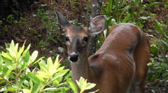 Close up white tail deer doe with ticks on her eyelid Stock Footage