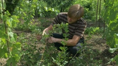 Man collects berries of gooseberries in stainless steel bowl. Berry harvest Stock Footage