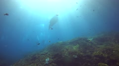 Manta ray (Manta blevirostris) swimming close by, from side Stock Footage