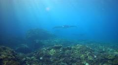 A few manta rays (Manta blevirostris) swimming towards camera Stock Footage