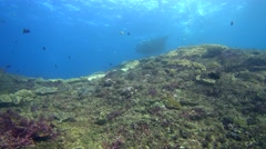 Manta ray (Manta blevirostris) on top of coral boomie with snorkelers Stock Footage