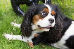Cute puppy - cavalier king charles spaniel tricolor puppy in park Stock Photos