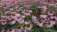 Bees On Filed Of Echinacea Flowers. Stock Footage