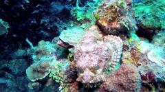 Scorpionfish Stock Footage