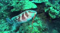 Grouper Coral Reef - stock footage