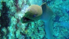 Green Moray Eel Stock Footage