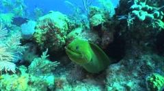 Green Moray Eel 2 Stock Footage