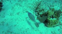 Filefish Stock Footage
