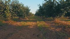 Big walnut plantation Stock Footage